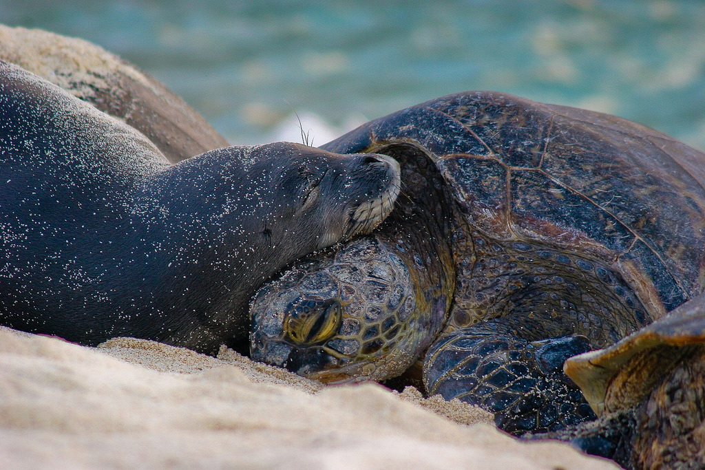 Pmnm  Green Turtle And Monk Seal 26640823494